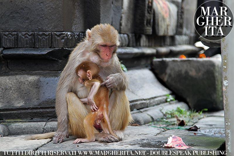 Kathmandu. Nepal. Scimmie nel Tempio di Pashupatinath
